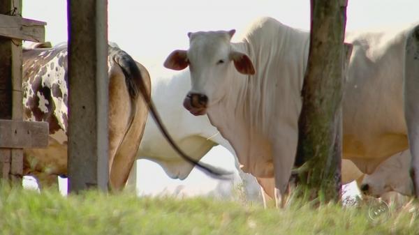 Casos de raiva bovina chegam a 12 na região de Avaré