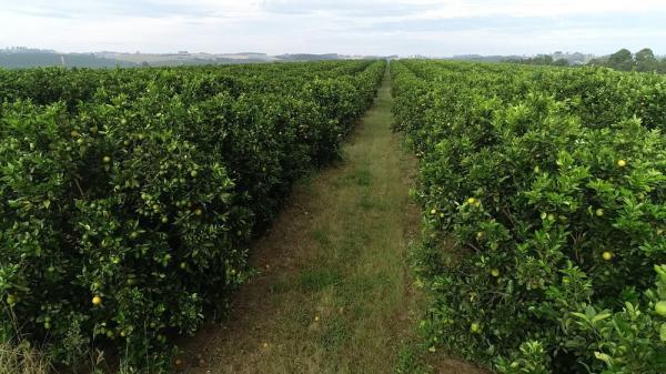 Safra de laranja deve ser boa na região de Avaré