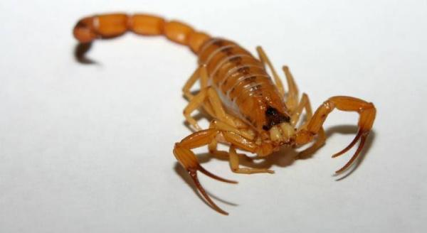 Picada por escorpião, criança  de 3 anos é transferida para Botucatu